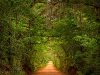A canopied country road near Tallahassee, Old Magnolia Road stretches out beneath a canopy lush with the new greenery of late spring.