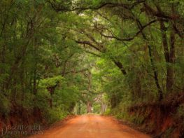 Old oak tree on a red dirt road - Old Magnolia Road leads directly to the Dueling Oak near Tallahassee, Florida.