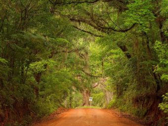 The Dueling Oak, an old oak tree, stands at the end of a tunnel of trees on Old Magnolia Road near Tallahassee, Florida. Duels may have taken place here more than 180 years ago.
