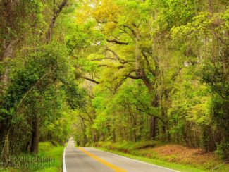 A roadside southern live oak tree with a yellow and green canopy of early spring stands as sentinel over the view down Miccosukee Road, a Tallahassee canopy road.