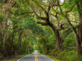 Large southern live oaks tower over Miccosukee Road in Tallahassee, Florida, creating a canopy over the road.