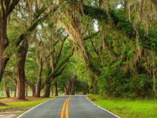 Large southern live oak trees draped in Spanish moss create a canopy over Miccosukee Road, one of the Tallahassee canopy roads.