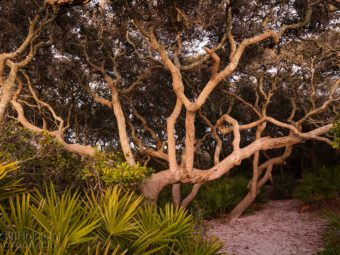 Scrub oaks flanked by saw palmettos shade the path through the sand dunes to the beach at Grayton Beach State Park in Santa Rosa Beach, Florida.
