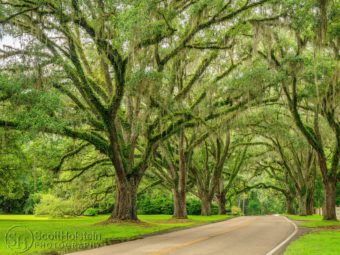 Live Oak Plantation Road, a canopy road in Tallahassee, Florida, sits beneath live oak trees adorned in resurrection ferns and Spanish moss.