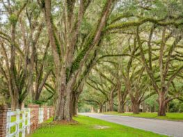 Beautiful southern live oak trees line the appropriately named Live Oak Plantation Road in Tallahassee, Florida.