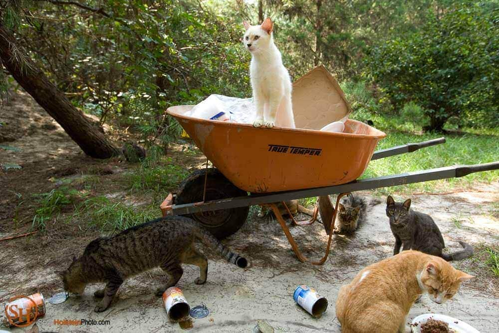 A cat watches feeding time from atop the wheelbarrow at Caboodle Ranch in Florida by editorial photographer Scott Holstein.