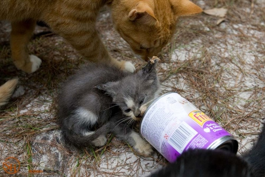 A kitten licks the can clean at feeding time at Caboodle Ranch in Lee by Florida editorial photographer Scott Holstein.