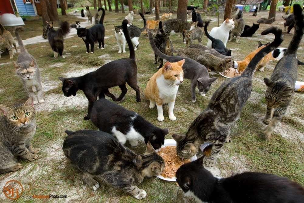 Photo of a crowd of cats feasting on canned cat food at Caboodle Ranch by Florida editorial photographer Scott Holstein.