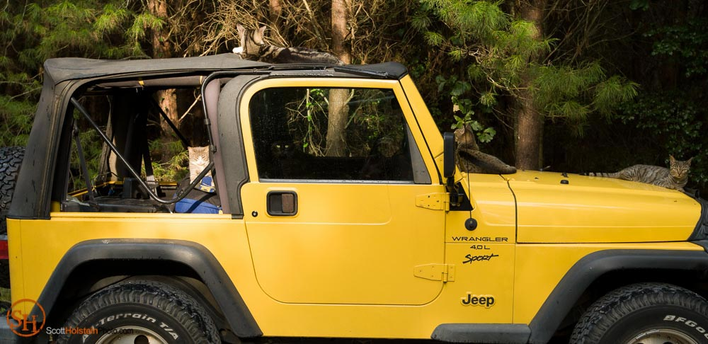 Photo of cats inside a yellow Jeep Wrangler in Lee, Florida by photographer Scott Holstein.