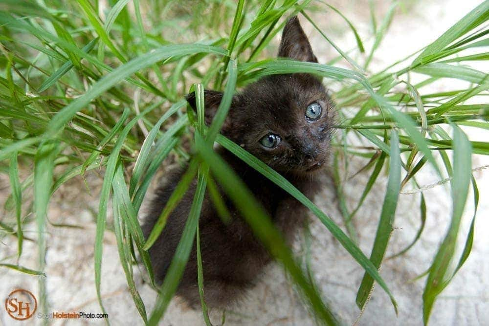 Photo of a small, green-eyed kitten hiding in tall grass at Caboodle Ranch by Florida photographer Scott Holstein.