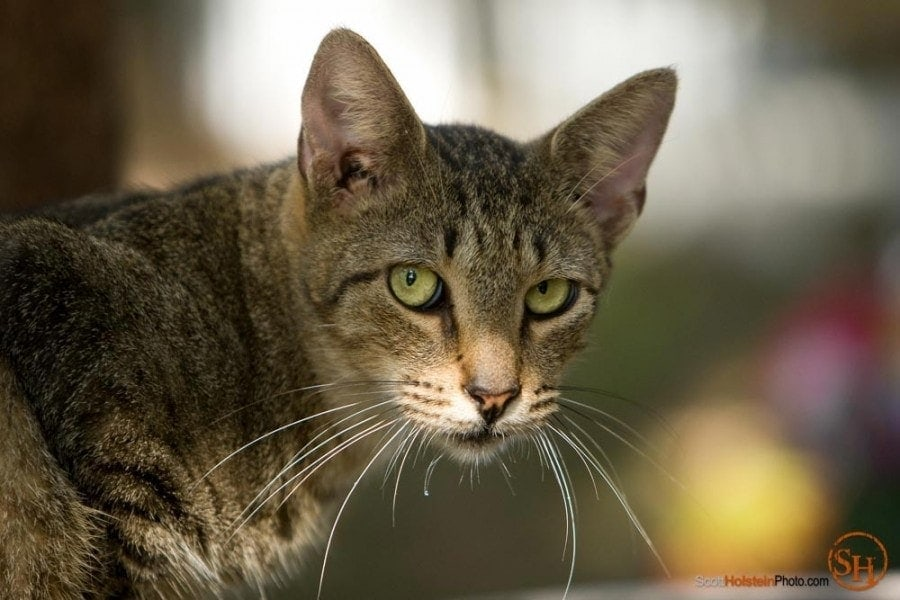 Portrait of a tomcat's intent gaze at Caboodle Ranch by Florida photographer Scott Holstein.