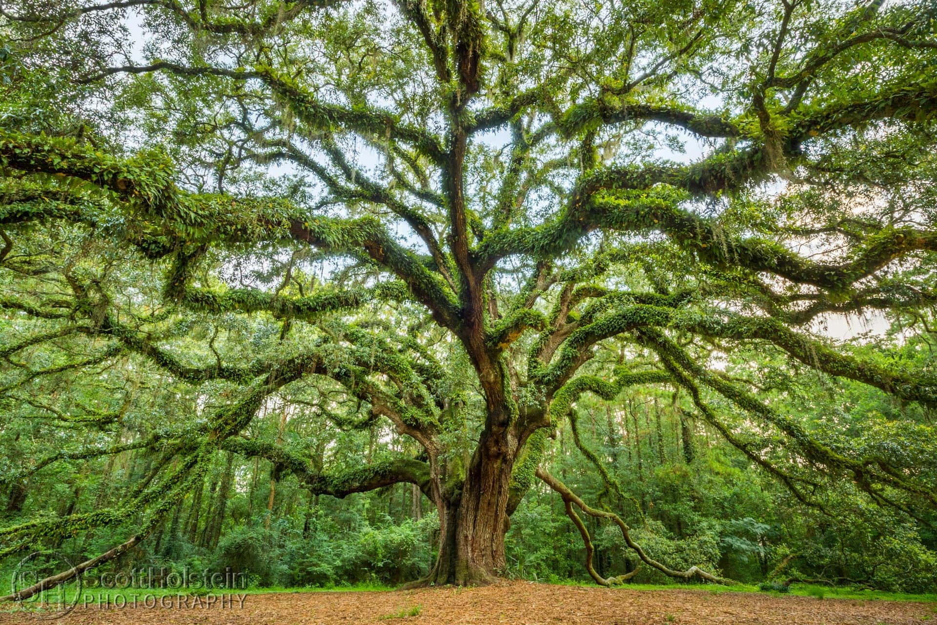 The Lichgate Oak tree is a large, sprawling Southern Live Oak (Quercus virginiana), covered in resurrection ferns, at Lichgate on High Road in Tallahassee, Florida.