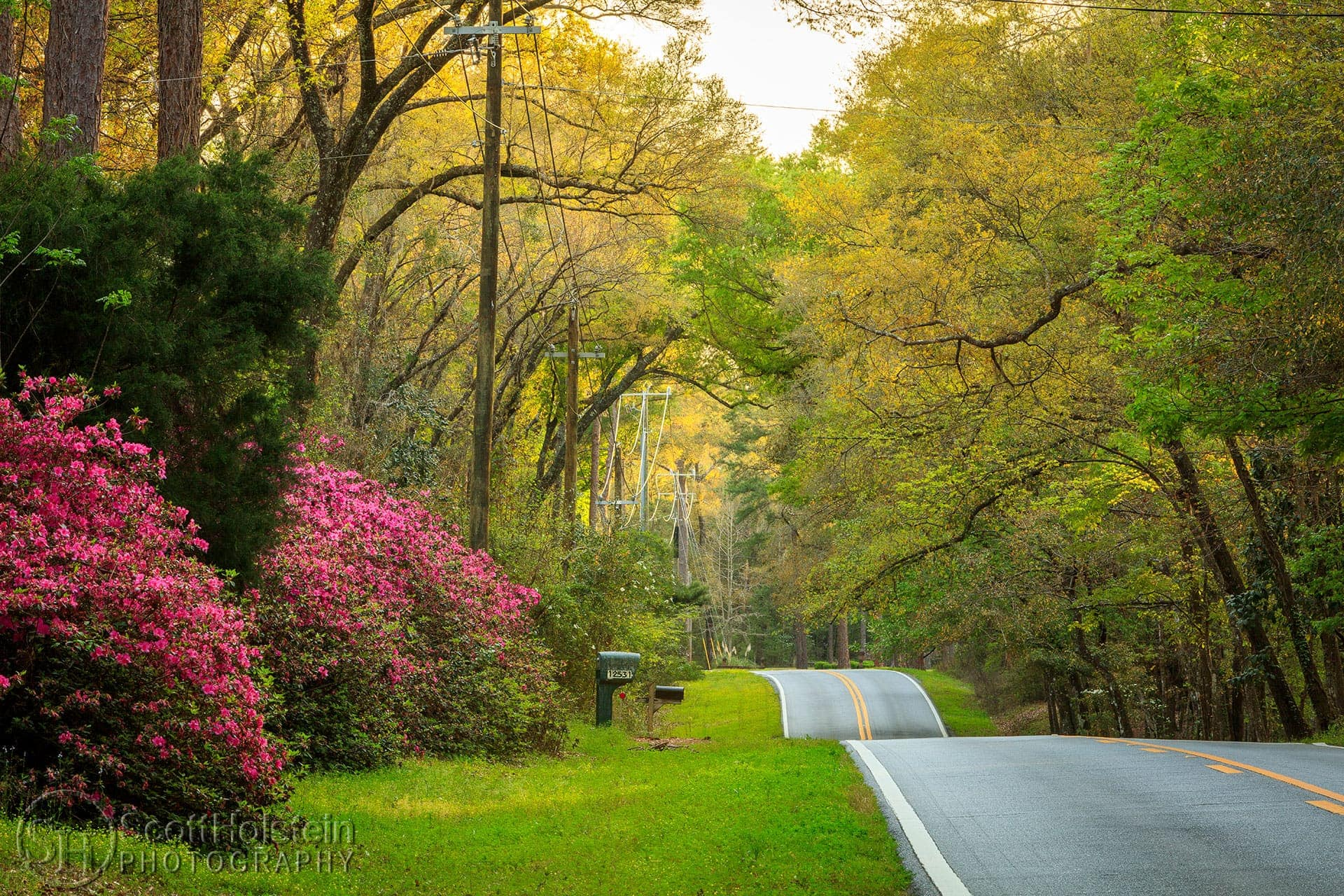 Large, blooming azaleas decorate North Meridian Road, one of the Tallahassee canopy roads.