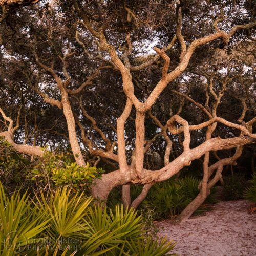 Buy wall art from my tree photography collection, featuring fine art photographs of various trees, including southern live oak trees, scrub oak trees, and cypress trees.